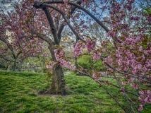 Central Park, New York con i ciliegi giapponesi Immagine Stock