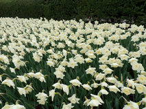Central Park New York spring narcissi Stock Photography