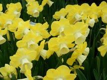 Central Park New York spring narcissi Stock Photos