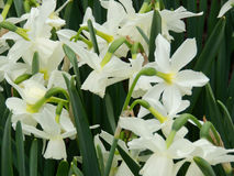 Central Park New York spring narcissi Royalty Free Stock Photography