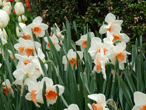 Central Park Nowy Jork wiosny narcyzi obrazy stock