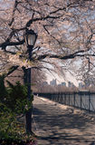 Central Park Spring Cherry Blossoms , NYC USA stock image