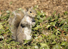 Central Park Squirrel Stock Photography