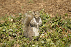 Central Park Squirrel Royalty Free Stock Photos
