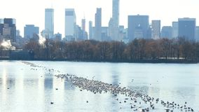 Central Park-Teichsee mit Gebäuden im Hintergrund und Vögeln auf Wasser in New York stock video