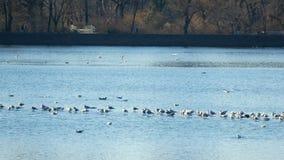 Central Park-Teichsee mit Vögeln auf Wasser in New York stock footage
