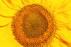 Central part of sunflower Royalty Free Stock Photos