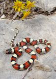 Central Plains Milk Snake and yellow flowers Stock Image