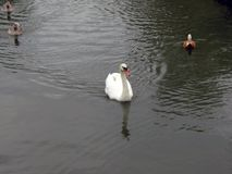 Central Russia, the white Swan and three ducks floating on the pond royalty free stock images