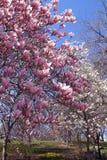 centrala japanska parktrees Arkivfoto