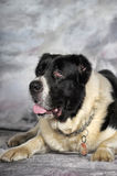 Centrale Aziatische Herder Dog Royalty-vrije Stock Afbeelding