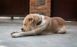 Centrale Aziatische herdershond stock fotografie