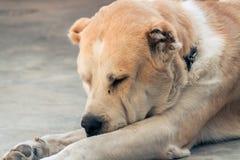Centrale Aziatische herdershond royalty-vrije stock foto