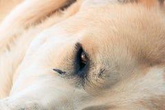 Centrale Aziatische herdershond royalty-vrije stock afbeeldingen