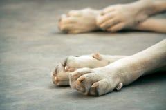 Centrale Aziatische herdershond stock afbeeldingen