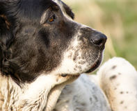 Centrale Aziatische herdershond die op het gazon liggen stock foto