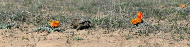 Centrale Aziatische schildpad en tulpen Stock Foto