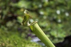 Centrale carnivore Sarracenia photos libres de droits