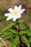Centrale d'anémone avec la fleur blanche Photographie stock