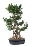 Centrale d'arbre de bonzaies photos libres de droits