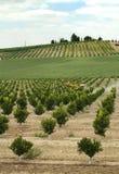 Centrale d'arbres oranges de Yang Image stock