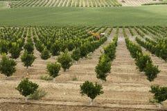 Centrale d'arbres oranges de Yang Image libre de droits