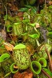 Centrale de broc - ampullaria de Nepenthes Photo libre de droits