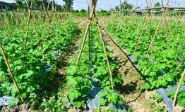 Centrale de concombre dans le jardin de la Thaïlande Photos stock