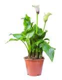 Centrale de floraison de santadeziya dans le pot de fleurs Image libre de droits