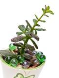 Centrale de jade (ovata de Crassula), d'isolement Photos libres de droits