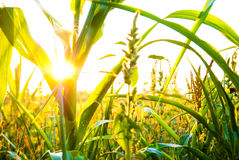 Centrale de maïs Photo stock