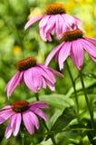 Centrale de purpurea d'Echinacea Photo stock