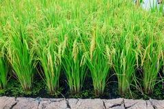 Centrale de riz Photographie stock