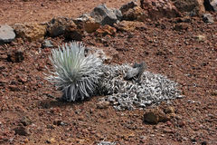 Centrale de silversword de Haleakala Image stock