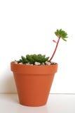 Centrale de succulent d'Echeveria Photographie stock
