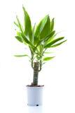 Centrale mise en pot (yucca) Photographie stock libre de droits