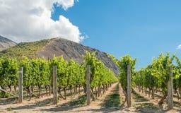 Centrale Otago-wijngaard Royalty-vrije Stock Foto's