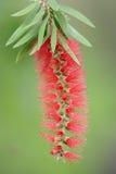 Centrale rouge de bottlebrush Photo libre de droits