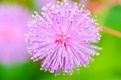 Centrale sensible - pudica de mimosa en nature verte Photographie stock libre de droits