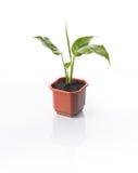 Centrale Spathiphyllum de Chambre Images libres de droits