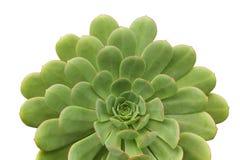 Centrale succulente images stock