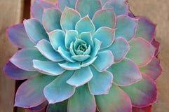 Centrale succulente Photo libre de droits