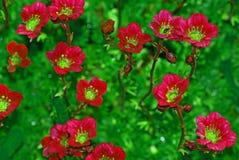 Centrale succulente (orpin ou Sedum) Images stock