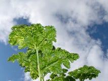Centrales bouclées de persil dans le jardin d'herbe contre le ciel Photo libre de droits