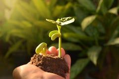 Centrales croissantes Jeune plante d'usine Youn de consolidation et de arrosage de main Images stock