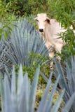 Centrales d'agave Image libre de droits