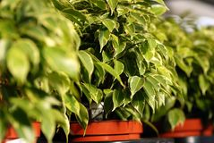 Centrales de Benjamina de Ficus à la jardinerie Photo stock