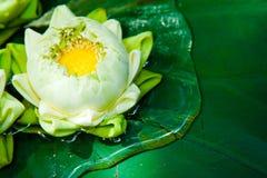 Centrales de lotus vertes en Asie Images libres de droits
