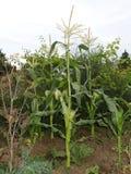 Centrales de maïs Images stock
