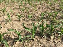 Centrales de maïs Photos stock